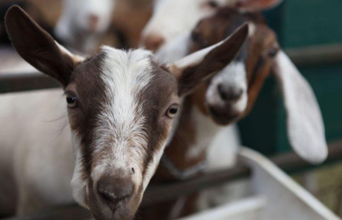 A close up shot of a goat